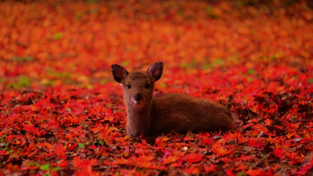 Deer on Miyajima Island in Fall leaves