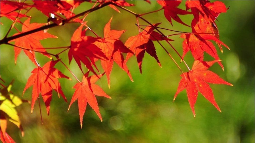 The beautiful maple leaves turning to red in Fall